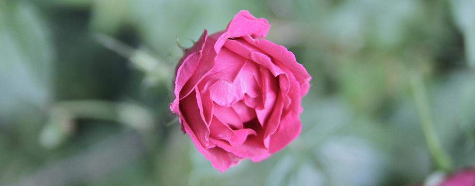 easervice legno si occupa di rinnovo infissi, nell'immagine, una rosa di colore rosa